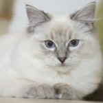 Caring for a Ragdoll Cat